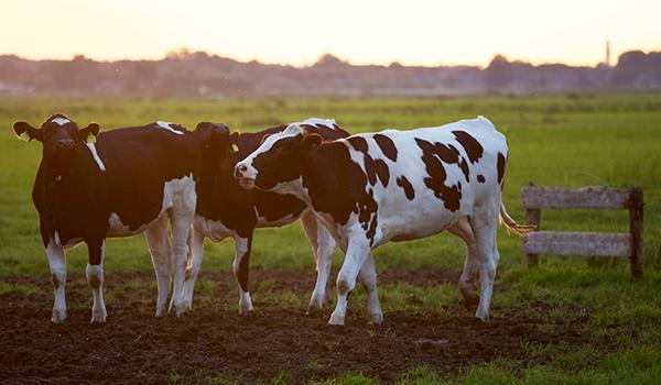 Cows - website 2