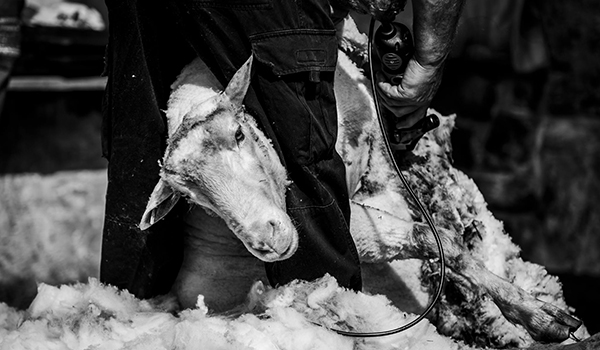 shearing - website B&W